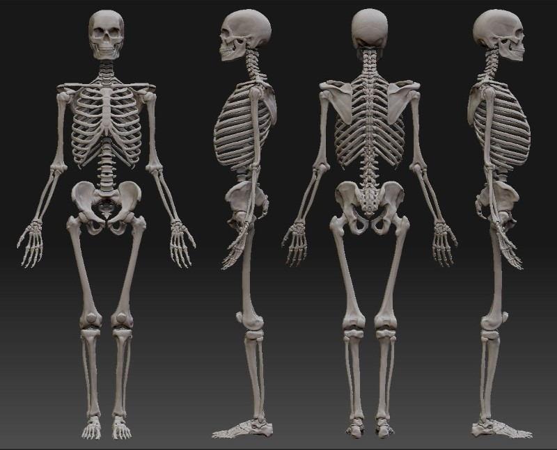 |Esqueleto humano