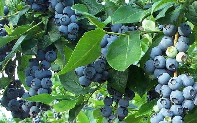 fruta com v