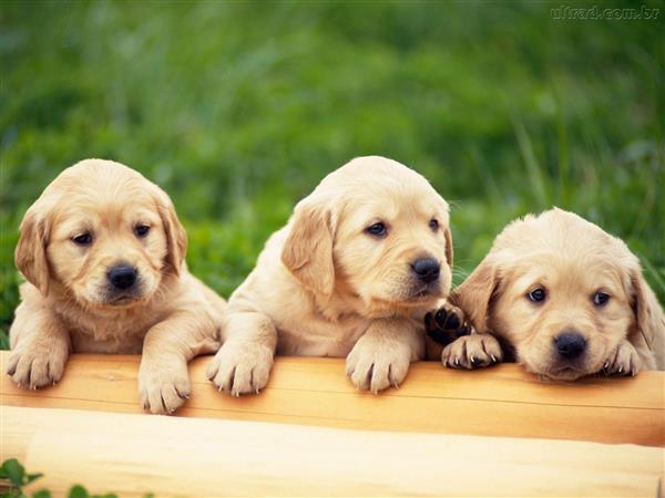 Filhotes-de-Cachorro- bebes