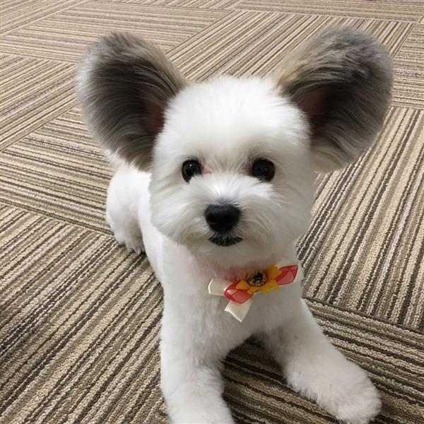 cachorro-com-orelhas-do-mickey