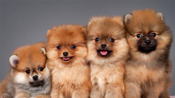 cachorro-fofo-filhotes-de-lulu-da-pomerania