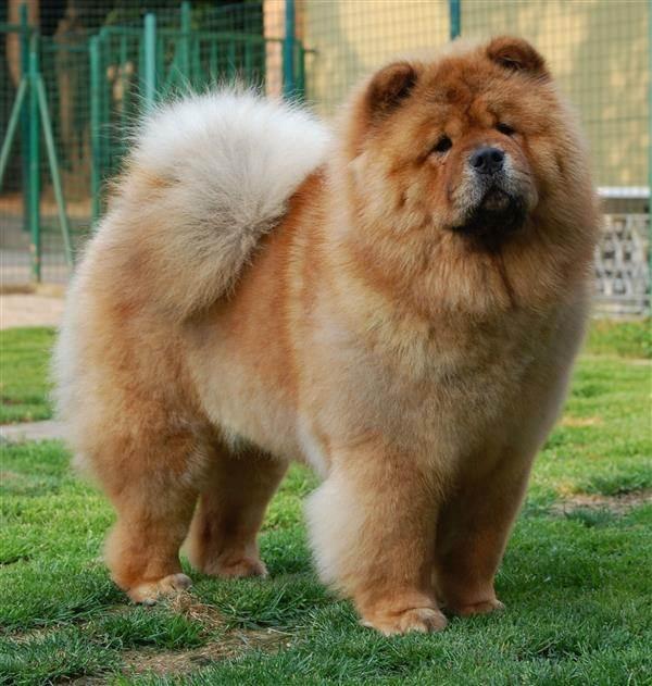 cachorro peludo fofo
