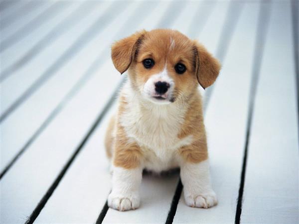 cachorros-fofos-pequenino