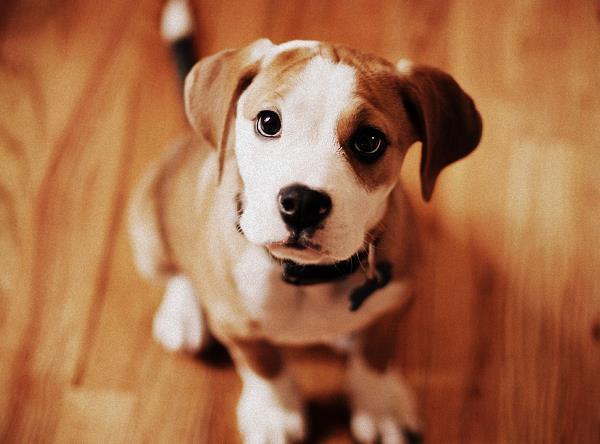 cachorros-fofos-pequeno