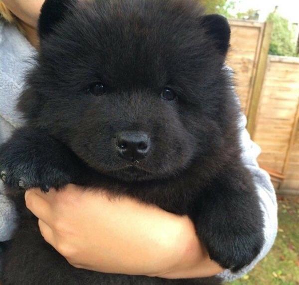 cachorros-fofos-pretinho