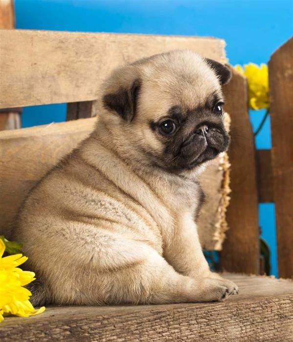 cachorros-fofos-raças-para-se-apaixonar