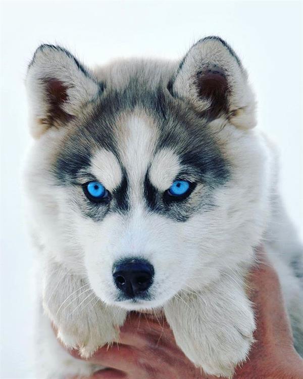 cachorro lindo com olho azul