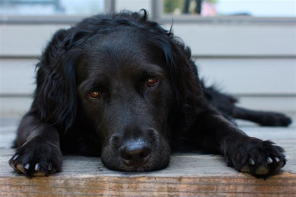 fofo black dog