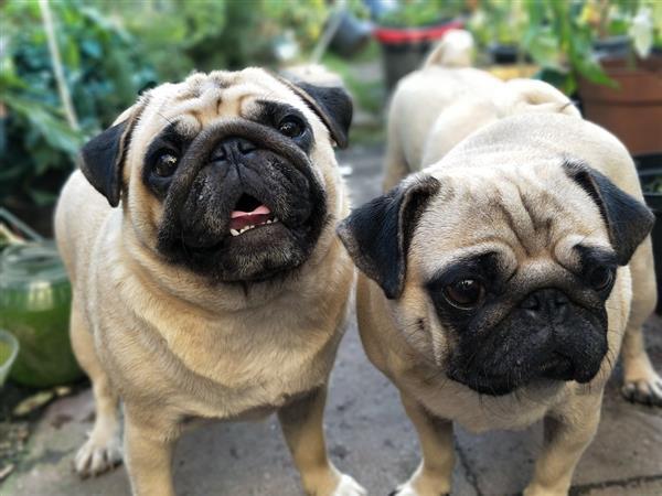 pugs-fofinhos