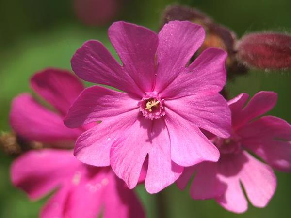 flor de Gibraltar campion