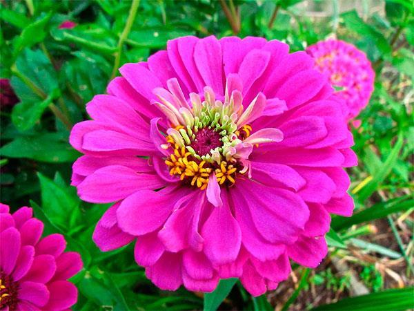 flor de Zínia-Rosa
